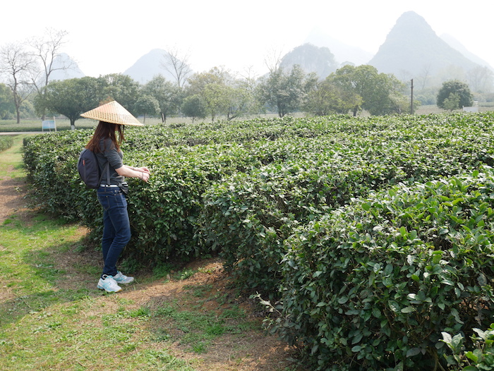 Pour en apprendre plus sur la cueillette, le séchage et le conditionnement du thé !