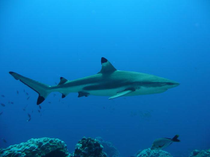Peu dangereux pour l'homme, ces poissons présents sur Tioman ont le bout des nageoires noires, d'où leur nom.