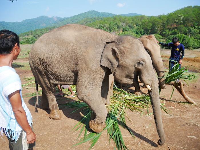 Pourquoi ne faut-il pas monter sur un éléphant ?