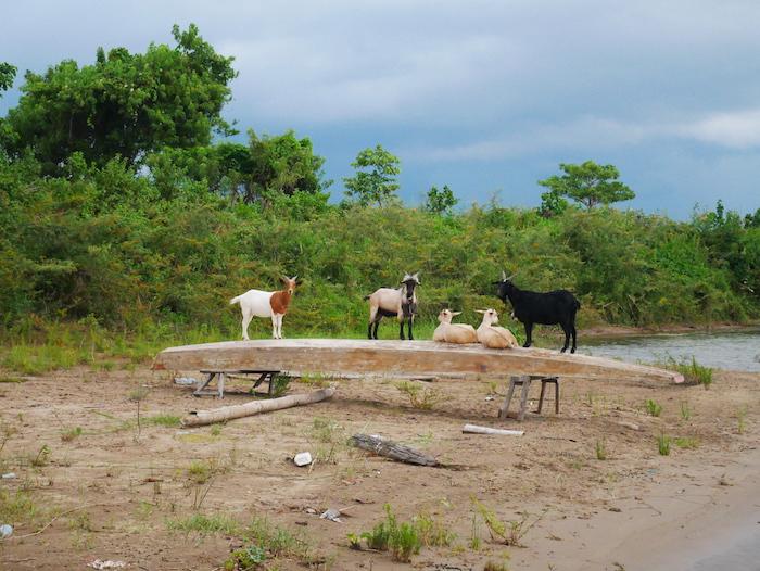 Va-t-on finir dévorer par des chèvres sur une île déserte ?