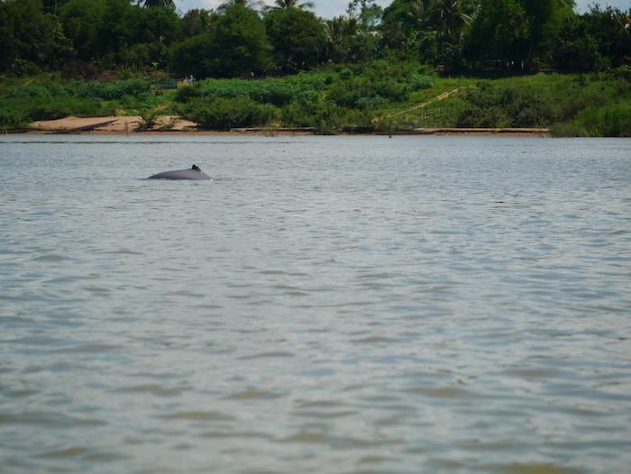 Où sont les dauphins du Mékong ?