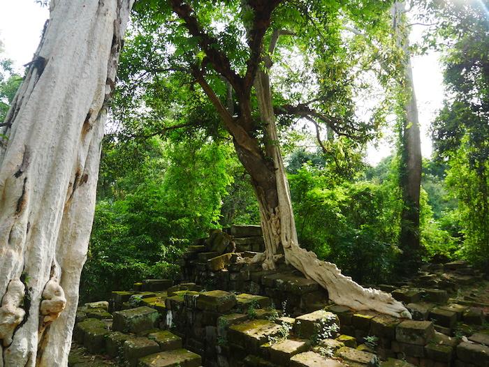 Quels sont les arbres qui poussent à Ta Prohm ?