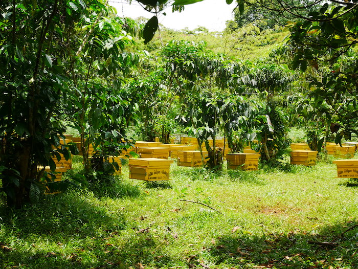 Comment aller à la plantation de thé et café depuis Paksé ?