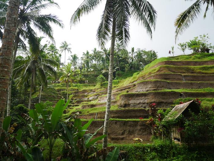 Où trouver les rizières Telalang ?