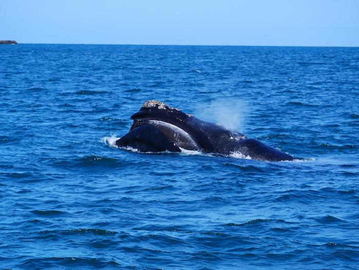 Où voir des baleines en Argentine ?