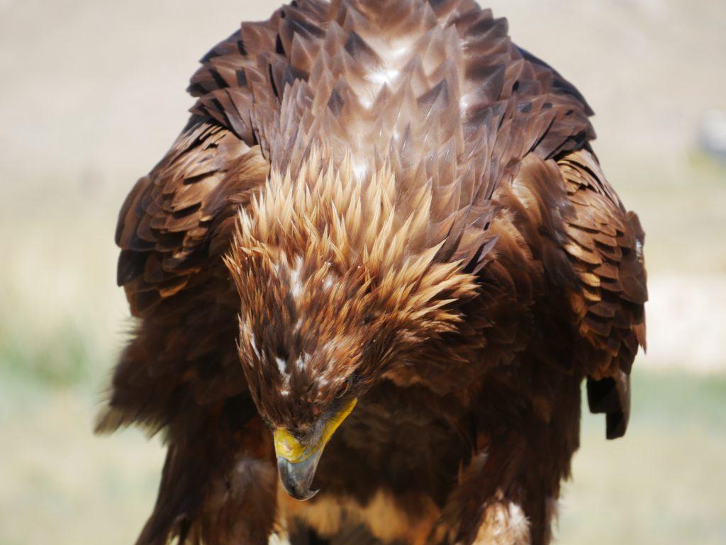 A quoi servent les aigles au Kirghizistan ?