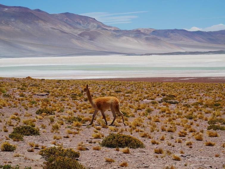 Vigogne dans le désert d'Atacama.