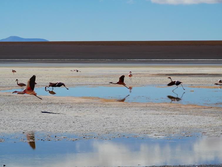 Une lagune et des flamants en train de s'envoler en Bolivie.