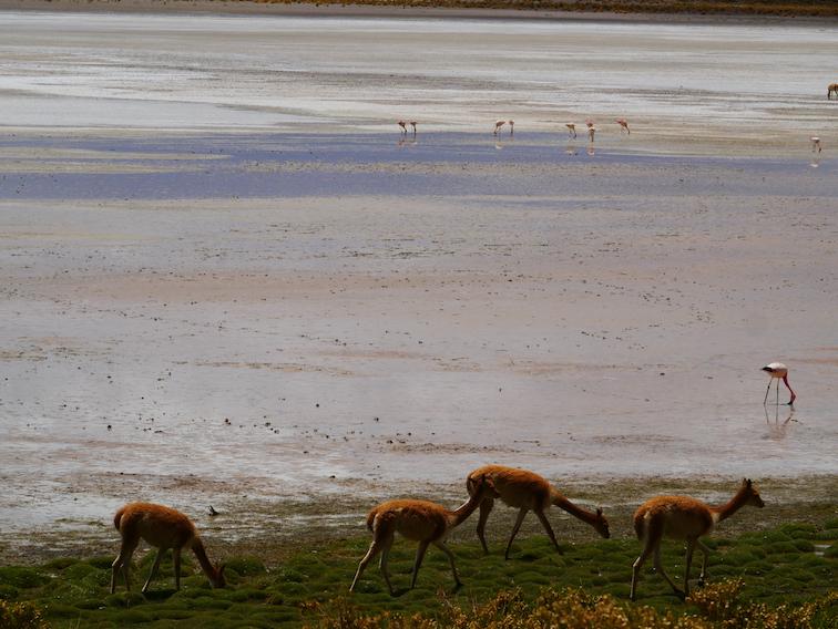 Flamants et vicunas sur une lagune en Bolivie.