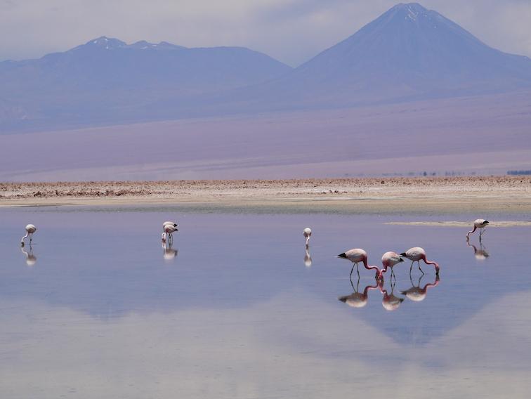 De jolis flamants dans la lagune de Chaxa.