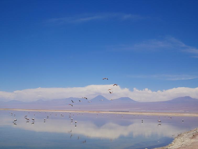 Le vol de flamants au Chili.