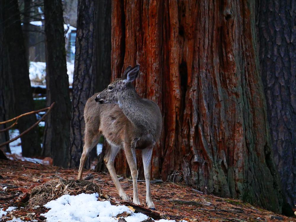 Les animaux sont nombreux à Yosemite.