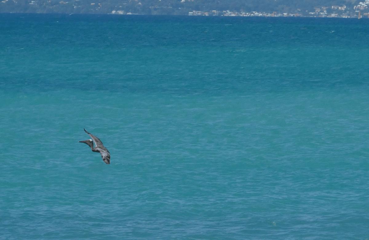 Où voir des pélicans en Guadeloupe ?