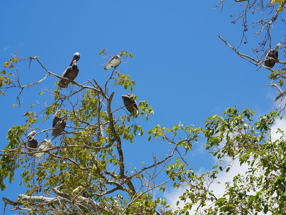 Les pélicans de Guadeloupe
